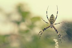Black and yellow striped spider on the web. Royalty Free Stock Image