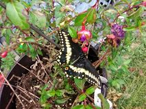 Swallowtail Butterfly on a fuchsia Hanging plant. Black and yellow Swallowtail Butterfly on a fuchsia Hanging plant in the Autumn hanging over green grass royalty free stock photo