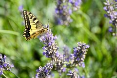 Black and yellow swallowtail butterfly on a lavender flower. Close up. Landscape format stock image