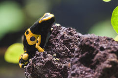 Black and yellow tropical poisonous frog Royalty Free Stock Photos