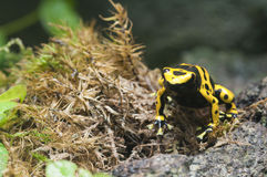 Black and yellow tropical poisonous frog Stock Image