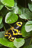 Black and yellow tropical poisonous frog Royalty Free Stock Image