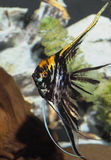 Black and Yellow Vailed Angel Fish Stock Photo