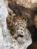 Wasps guarding the nest attached to a rock royalty free stock photos