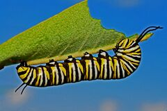 Black Yellow and White Monarch Butterfly Caterpillar Stock Images