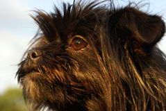 Black Yorkie Stock Images