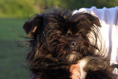 Black Yorkie Royalty Free Stock Photography