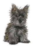 Black Yorkshire Terrier puppy sitting. In front of a white background Royalty Free Stock Image