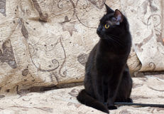 Black young cat Stock Image