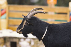 Black young goat with a beard Royalty Free Stock Images