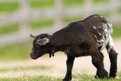 Black young goat on farm alley Stock Image