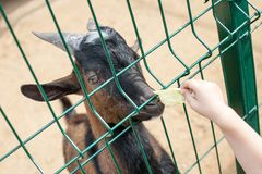 Black young goat in farm stable head and child hand with green salad. Closeup view royalty free stock photo