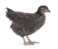 Black young hen Stock Image