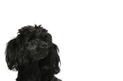 Black, young poodle looks up Stock Photos