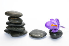 Black zen stones with bamboo en crocus on empty white background. Black cairn zen stones with purple spring saffron crocus and bamboo twig on white empty copy Royalty Free Stock Images