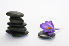 Black zen stones with bamboo en crocus on empty white background. Black cairn zen stones with purple spring saffron crocus and bamboo twig on white empty copy Stock Photography