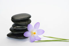 Black zen stones with bamboo en crocus on empty white background. Black cairn zen stones with purple spring saffron crocus and bamboo twig on white empty copy Stock Photo