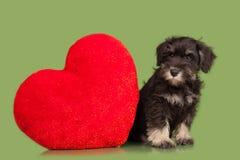 Black Zwergschnauzer puppy and red heart Stock Image