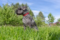 Black Zwergschnauzer sits in the grass against the background of the forest and the blue sky. royalty free stock photos