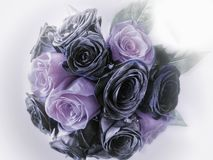 BlAck and purple roses. BlAckand purple roses royalty free stock image