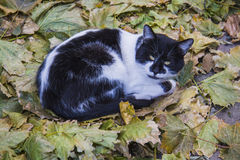 Blackand white  Cat in  autumn leaves Royalty Free Stock Photo