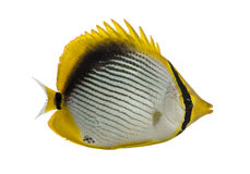 Blackback Butterflyfish, Chaetodon melannotus Stock Photos