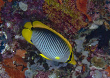 Blackback butterflyfish with coral reef background. Stock Photo