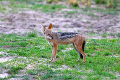 Blackback jackal Royalty Free Stock Images