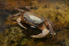 Blackback land crab Gecarcinus lateralis Stock Image