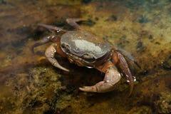 Blackback land crab Gecarcinus lateralis Stock Images