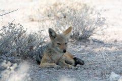 Blackbacked ослабленный jackal, стоковая фотография