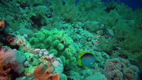 Blackbacked butterffyfish Chaetodon mellanotus, fish swims among the corals on the reef in the Red Sea. Egypt stock video footage