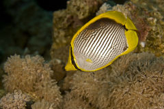 Blackbacked butterflyfish (chaetodon melannotus) Royalty Free Stock Photography