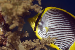 Blackbacked butterflyfish (chaetodon melannotus) Stock Photos