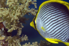 Blackbacked butterflyfish (chaetodon melannotus) Stock Photography