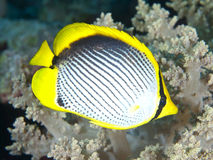 Blackbacked butterflyfish Stock Photos
