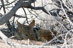 Blackbacked jackal, пряча в кусте стоковые фото