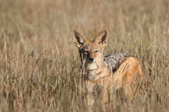 Blackbacked Jackal Royalty Free Stock Photo