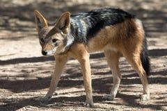 Blackbacked jackal стоковая фотография