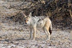 Blackbacked jackal стоковые фото