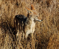 Blackbacked Jackal Stock Photography