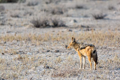 Blackbacked Jackal Royalty Free Stock Photos