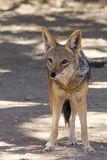 Blackbacked Jackal Stock Photo