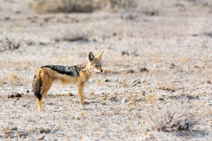 Blackbacked Jackal Stock Images