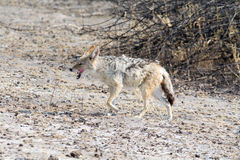 Blackbacked Jackal Royalty Free Stock Image