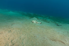 Blackbanded jack (seriolina nigrofasciata) in the Red Sea. Royalty Free Stock Images