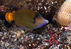 Blackbar Filefish Royalty Free Stock Images