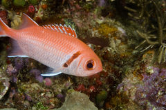 Blackbar Soldierfish Royalty-vrije Stock Afbeelding