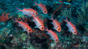 blackbar soldierfish Royaltyfria Foton