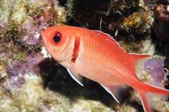 Blackbar Soldierfish Stock Afbeeldingen